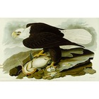 Reproduction tableaux de peintre Audubon005